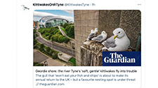 The North Shields colony loose their nesting site - The Guardian - Kittiwakes upon the Tyne