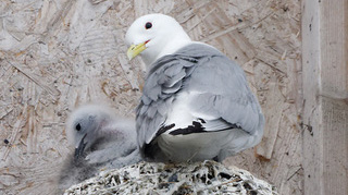 A Tyne Kittiwake nesting close to the Ferry Landing in North Shields - North Tyneside by Andrew Clayton