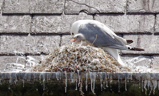 A Tyne Kittiwake nesting on Ferry Mews building in North Shields - North Tyneside by Andrew Clayton