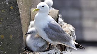 A Tyne Kittiwake with chicks on Phoenix House