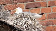 A Tyne Kittiwake netting on anti-bird netting - Ferry Mews in North Shields, North Tyneside