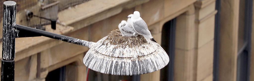 Tyne Kittiwakes nest on a street light - Newcastle Quayside