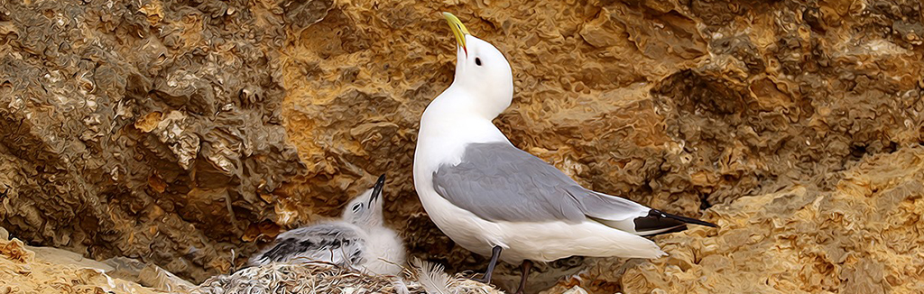 Tyne Kittiwake parent with chick - Marsden Rock