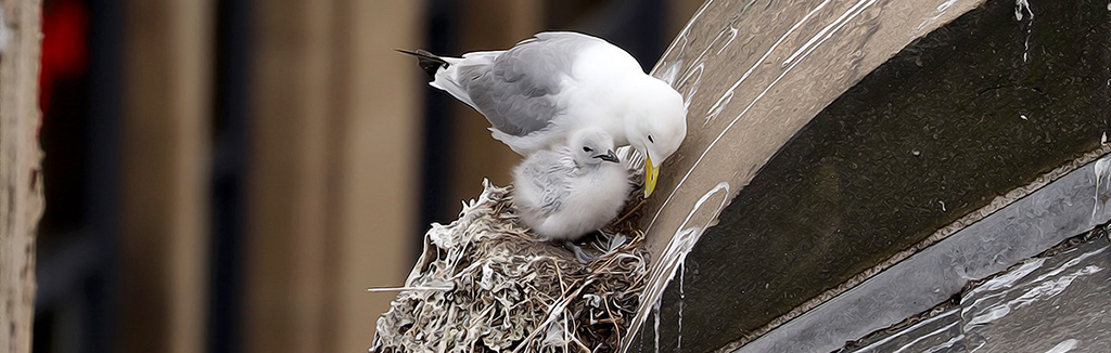 Tyne Kittiwake parent with chick - Newcastle Quayside