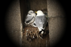Kittiwake-Chick-Tyne-Bridge-15-June-19