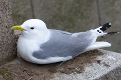 Samuel-Fisher-27March-2021-a-Kittiwakes